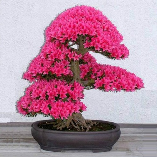 Japanese bonsai plants Japanese Bonsai Japanese bonsai tree