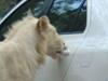 Lion Opens the Door of Toyota