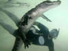 Amazing Swimming With Crocodiles Images