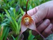 The Amazing Orchid That Looks Like A Monkey�s Face